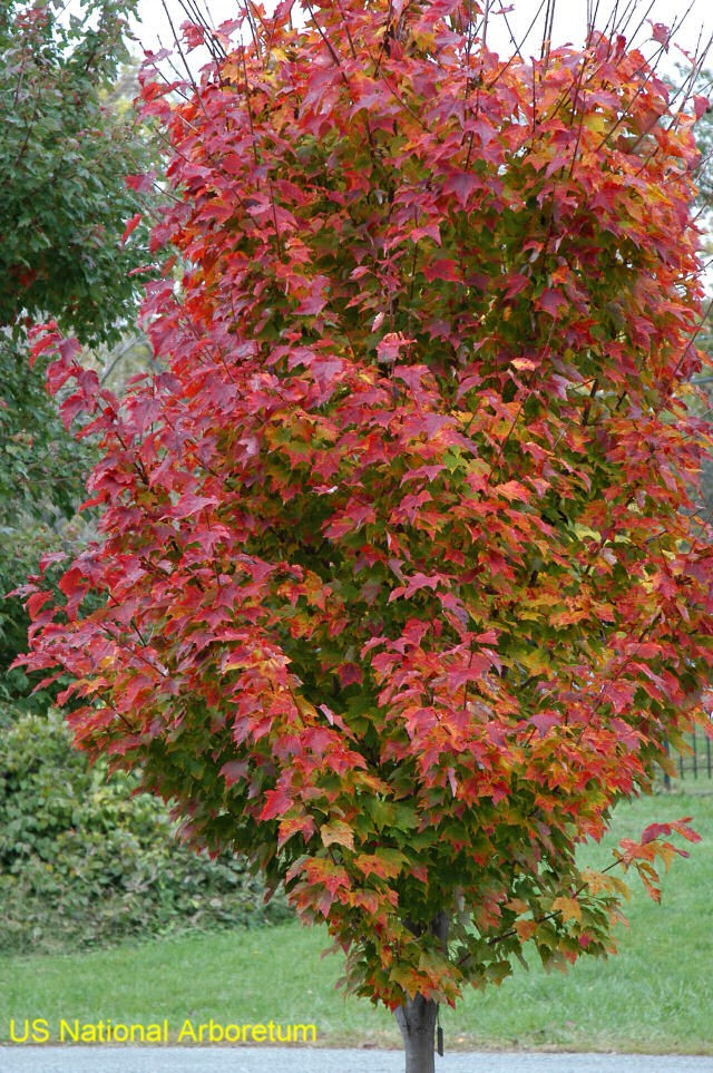 Acer rubrum 'Red Rocket'  / Acer rubrum 'Red Rocket'