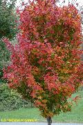 Red Rocket Maple / Acer rubrum