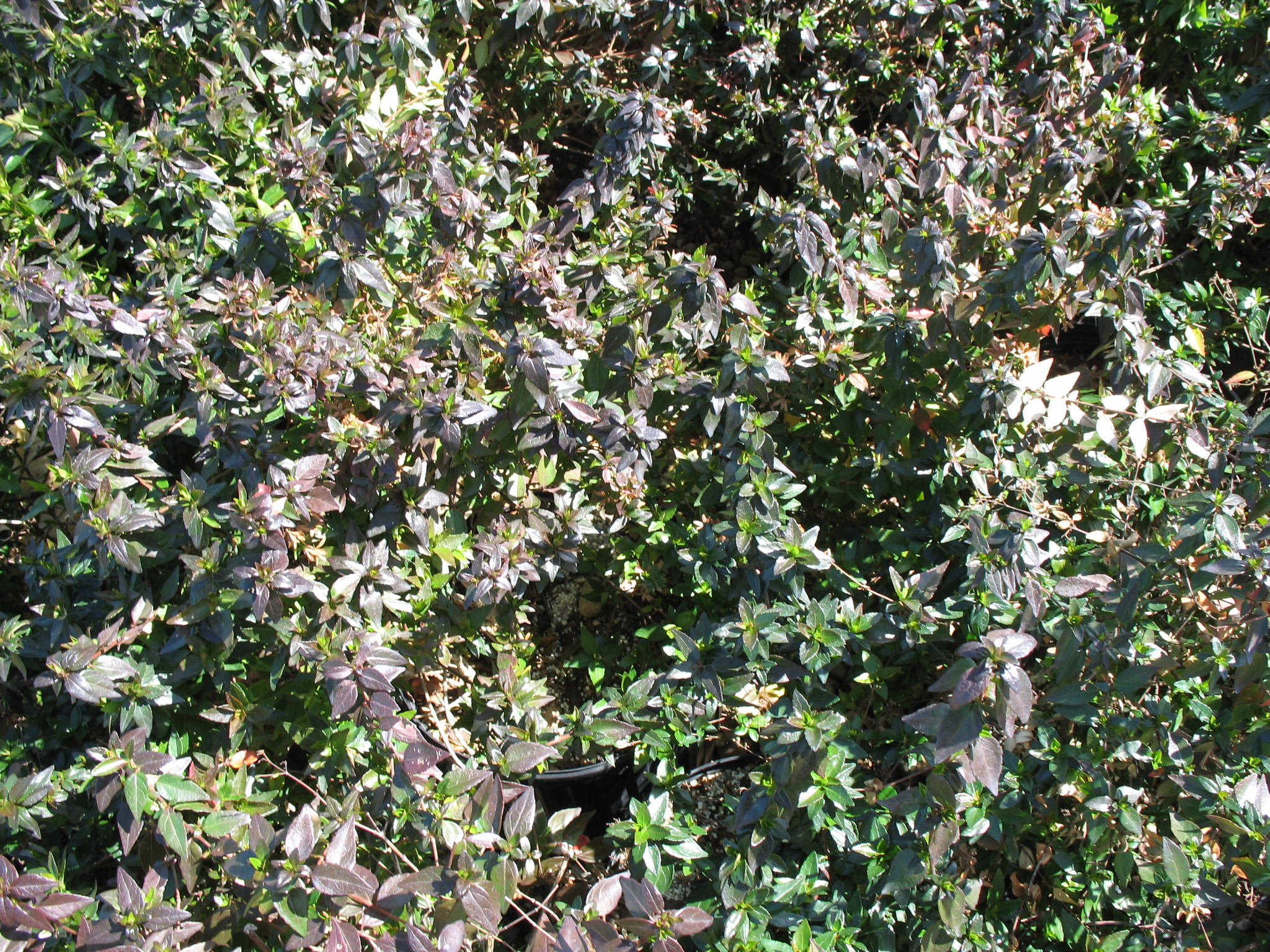 Abelia x grandiflora 'Little Richard'  / Abelia x grandiflora 'Little Richard'