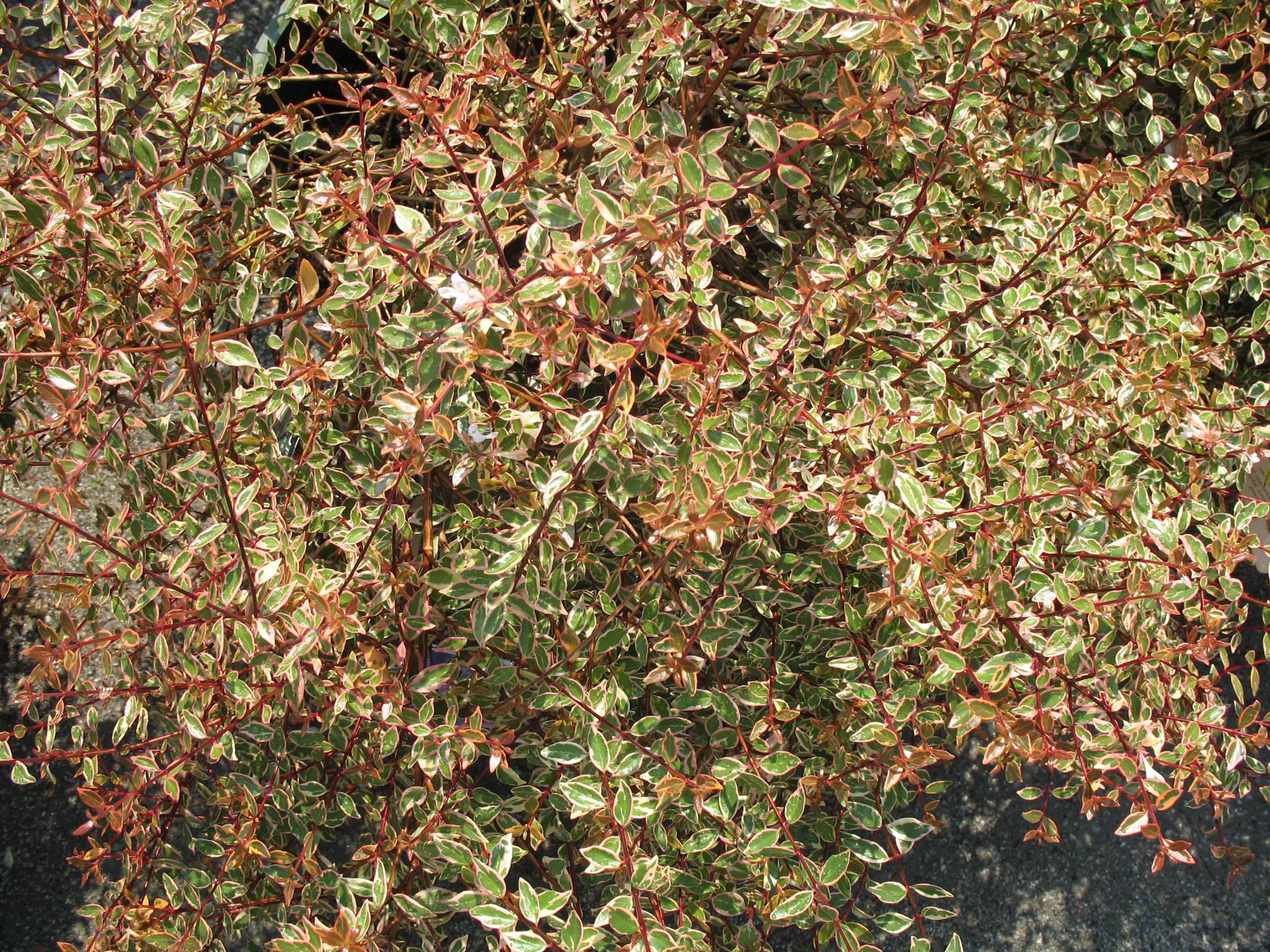 Abelia x grandiflora 'Sunrise' / Abelia x grandiflora 'Sunrise'