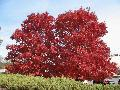 Red Maple / Acer rubrum