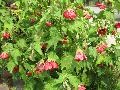 Voodoo Flowering Maple / Abutilon x hybridum
