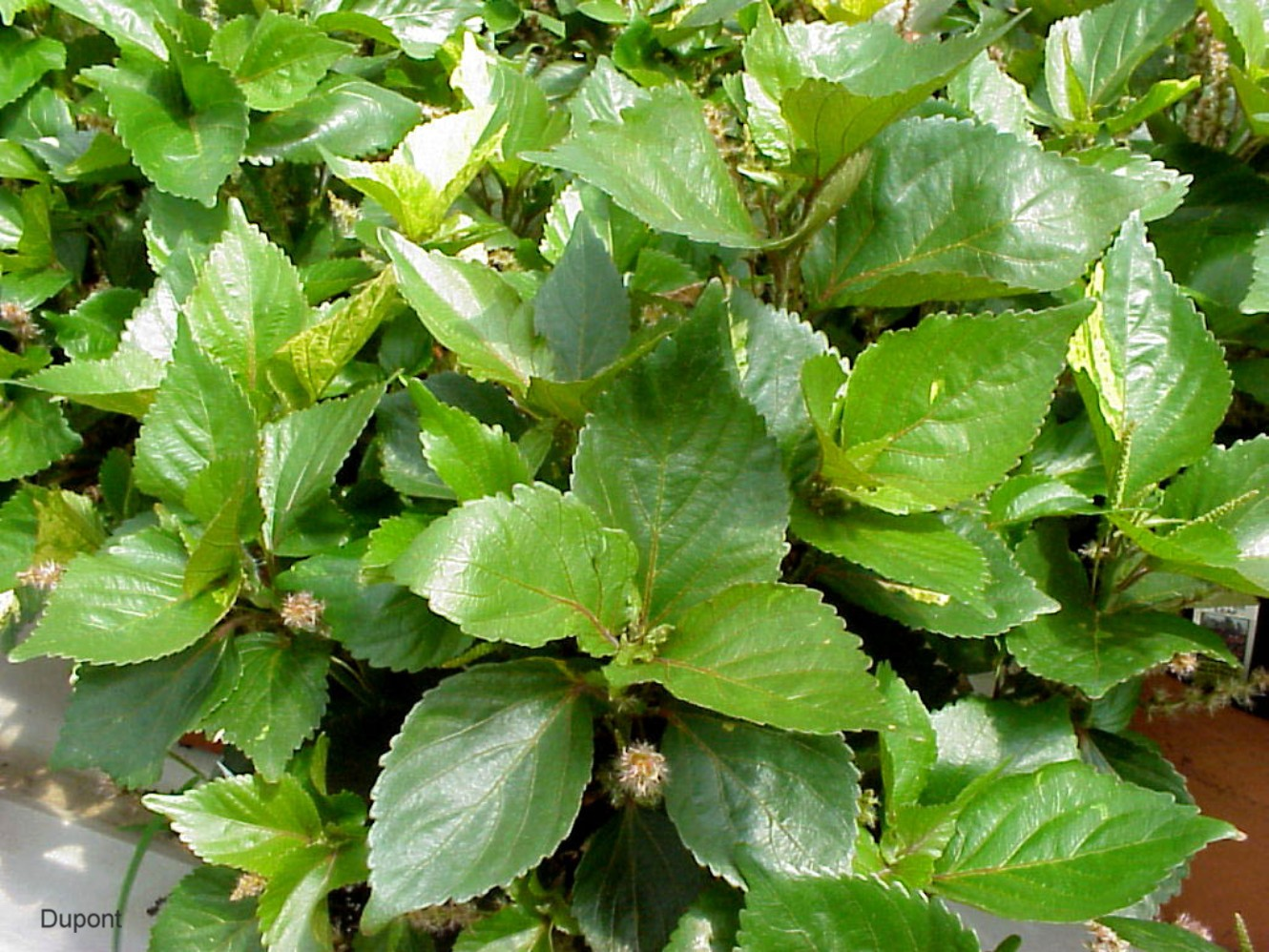 Online Plant Guide Acalypha Wilkesiana Tricolor Tricolor