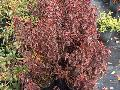 Copper Plant / Acalypha wilkesiana
