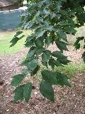 Evelyn Field Maple / Acer buergerianum