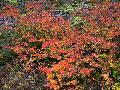 Vine Maple / Acer circinatum