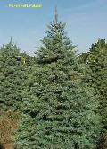 White Fir / Abies concolor