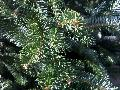 Fraser Fir / Abies fraseri
