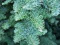 Noble Fir / Abies procera