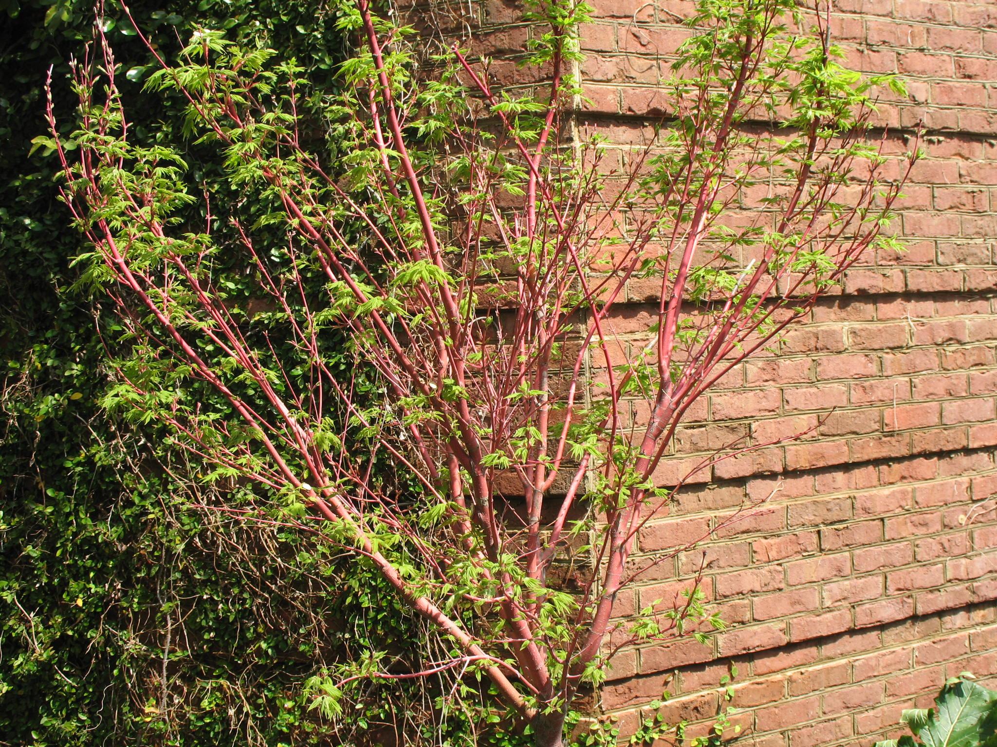 Acer palmatum 'Sango-Kaku'   / Coral Bark Japanese Maple