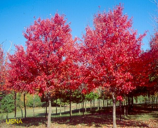 Acer rubrum 'Sun Valley' / Acer rubrum 'Sun Valley'