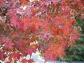 Glowing Embers Japanese Maple / Acer palmatum