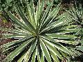 / Agave tequilana