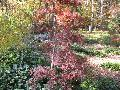 Red Dragon Maple / Acer palmatum