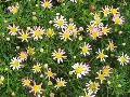 Boston Daisy, Cobbitty Daisy / Argyranthemum frutescens