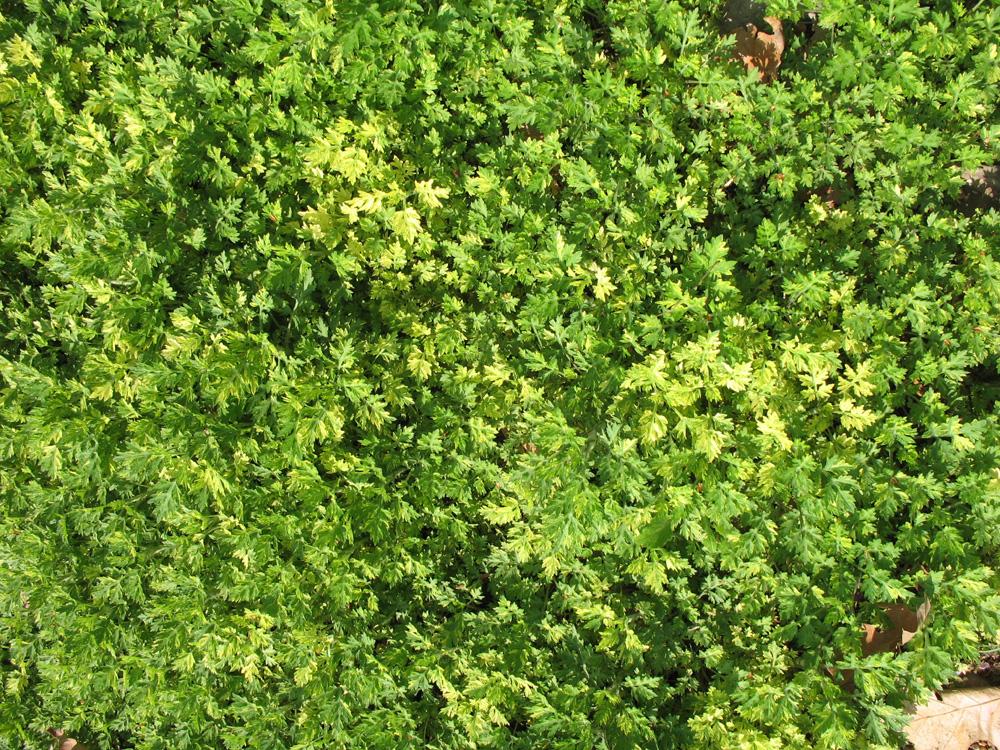 Artemisia vulgaris  / Artemisia vulgaris