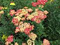 Strawberry Seduction Achillea / Achillea millefolium
