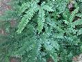 Northern Maidenhair Fern / Adiantum pedatum