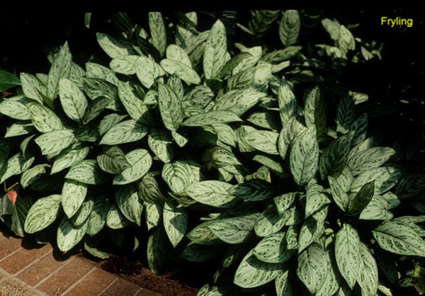 Online Plant Guide - Aglaonema species / Chinese Evergreen