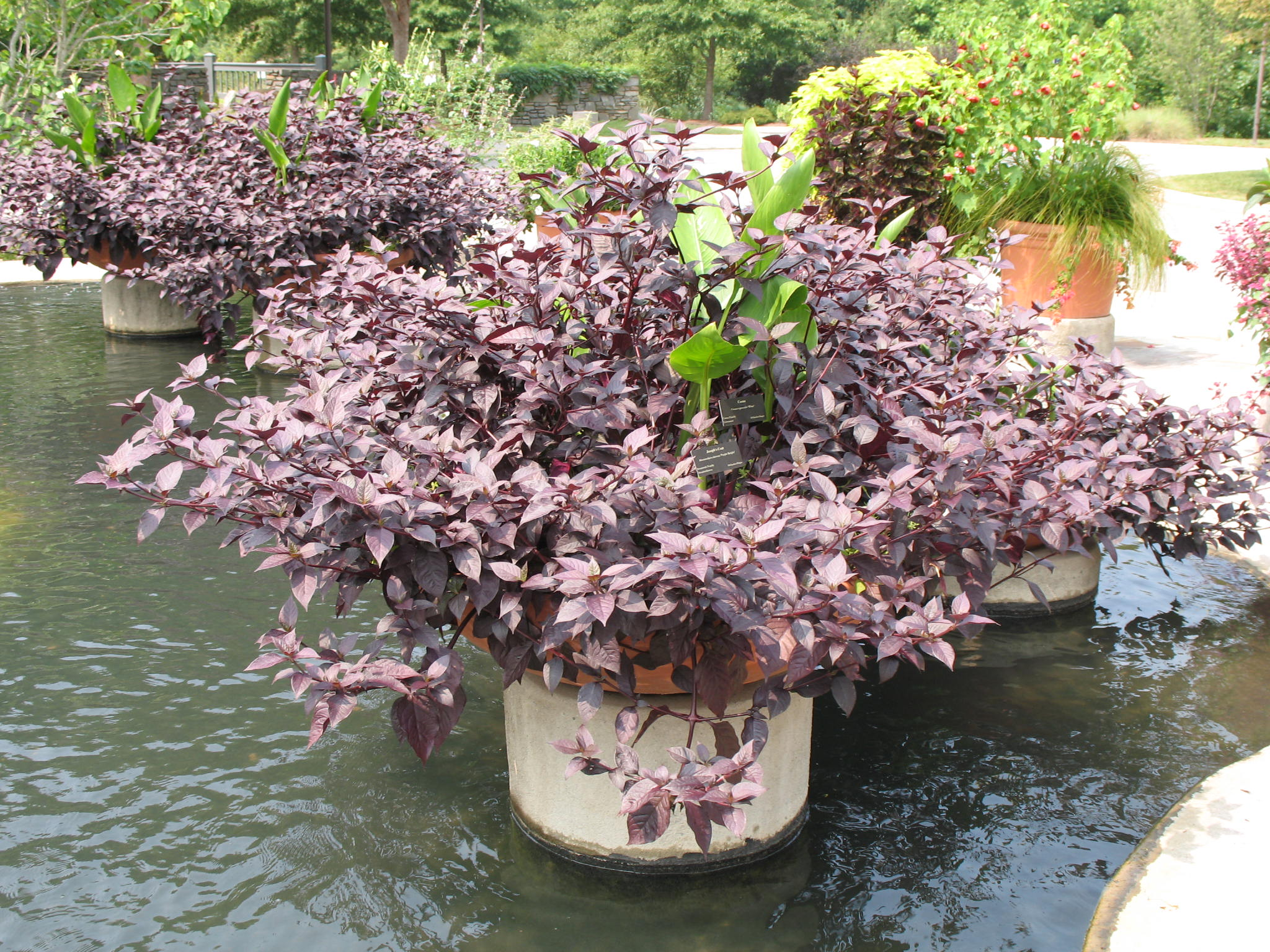 Alternanthera dentata 'Purple Knight'   / Alternanthera dentata 'Purple Knight'