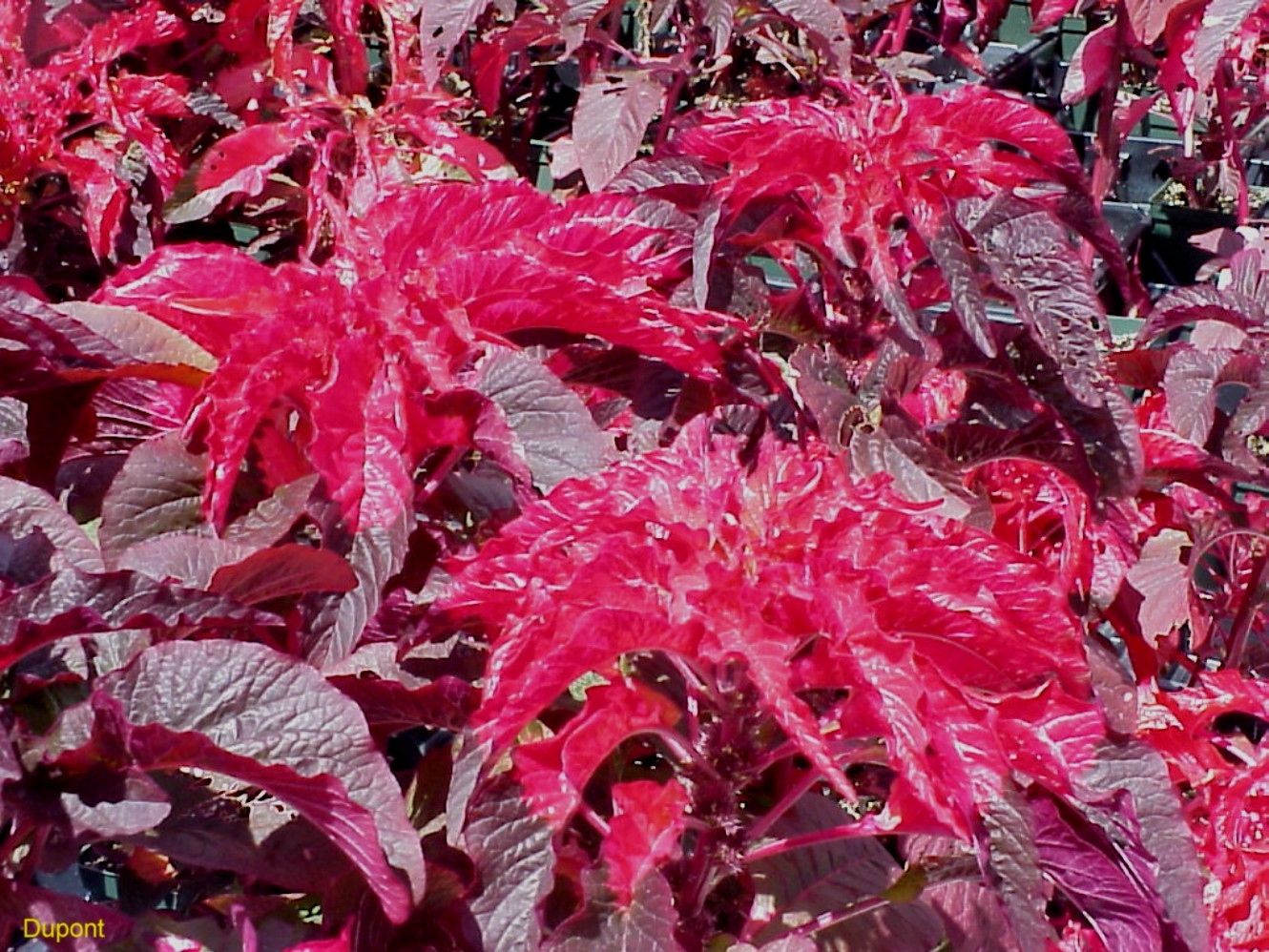 Amaranthus tricolor 'Early Splendor'   / Amaranthus tricolor 'Early Splendor'