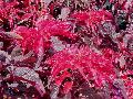 Summer Poinsettia / Amaranthus tricolor 'Early Splendor'