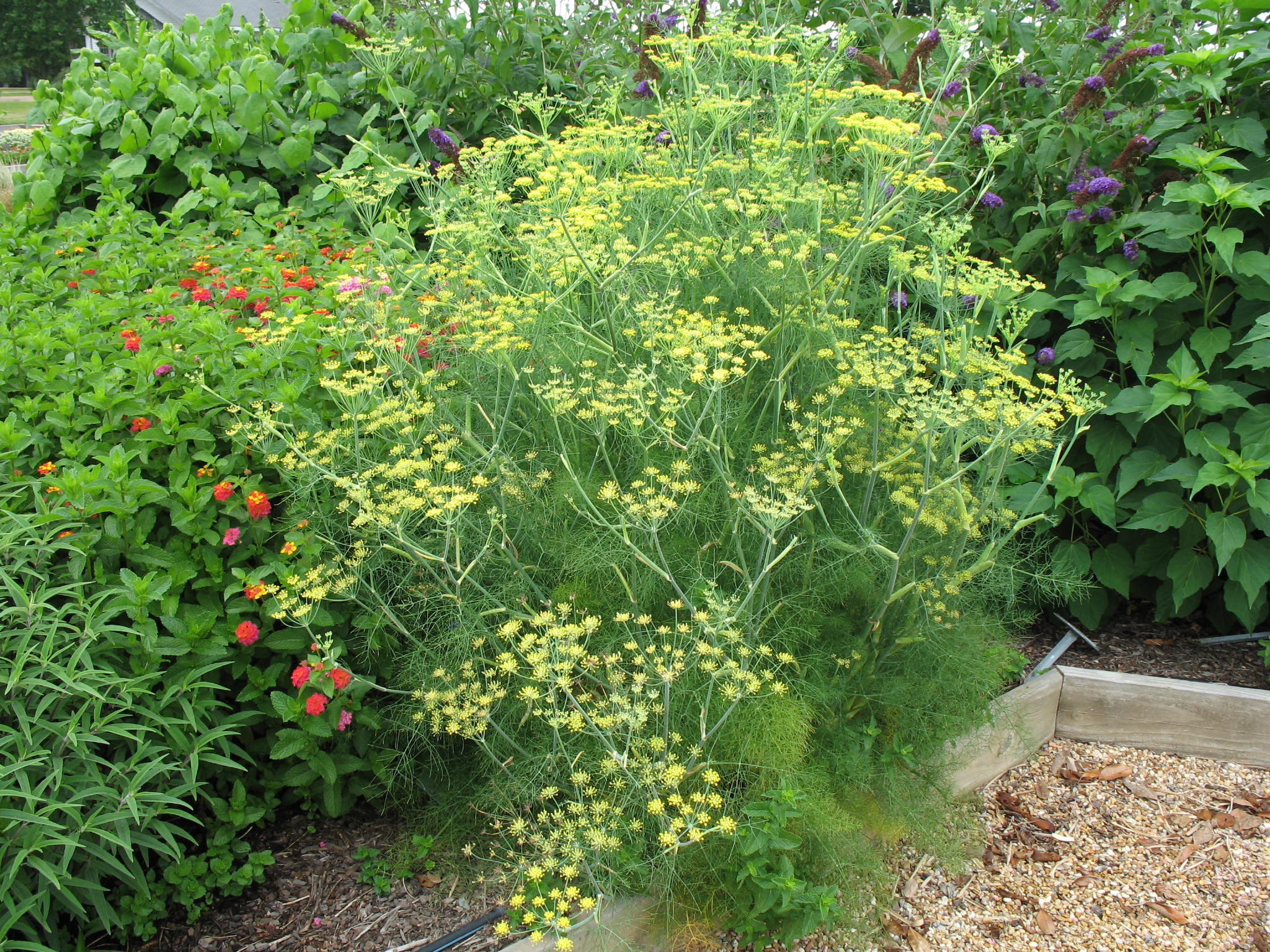Dill plants the image kid has it for Plantes online