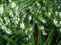 Serena White Summer Snapdragon / Angelonia