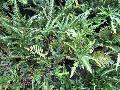 East Indian Holly Fern / Arachniodes simplicior