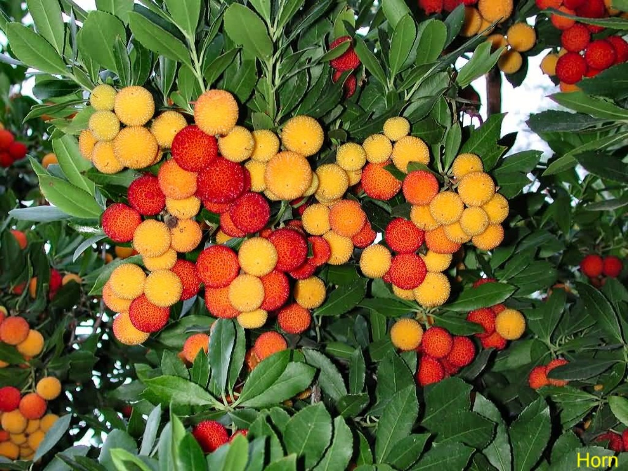 Online Plant Guide - Arbutus unedo / Strawberry Tree