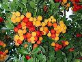 Strawberry Tree / Arbutus unedo