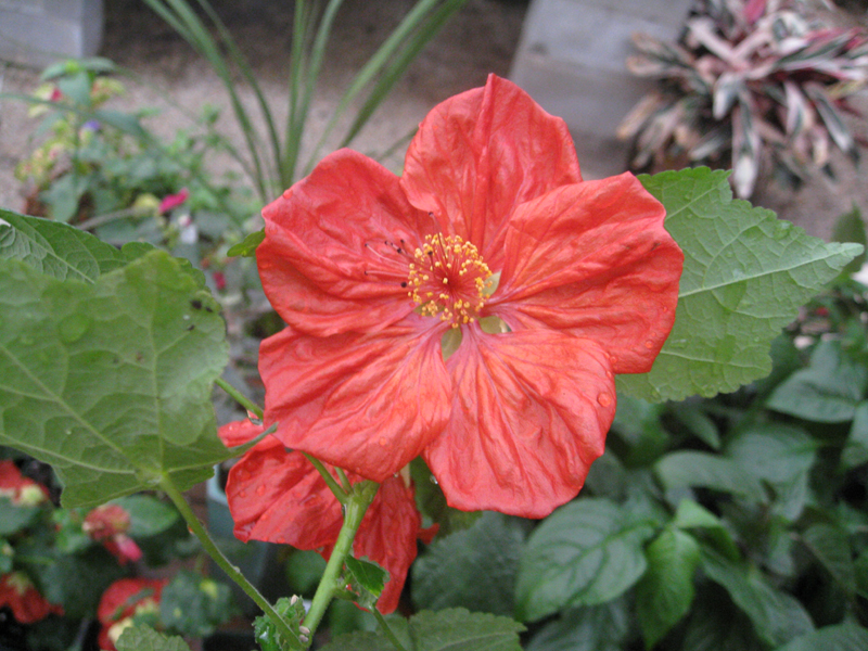 Abutilon hybridum 'Bella Select Mix' / Abutilon hybridum 'Bella Select Mix'