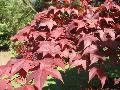 Red Ribbonleaf Maple / Acer oakmatum atropurpureum