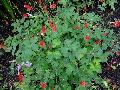 Wild Columbine or Red Columbine / Aquilegia canadensis