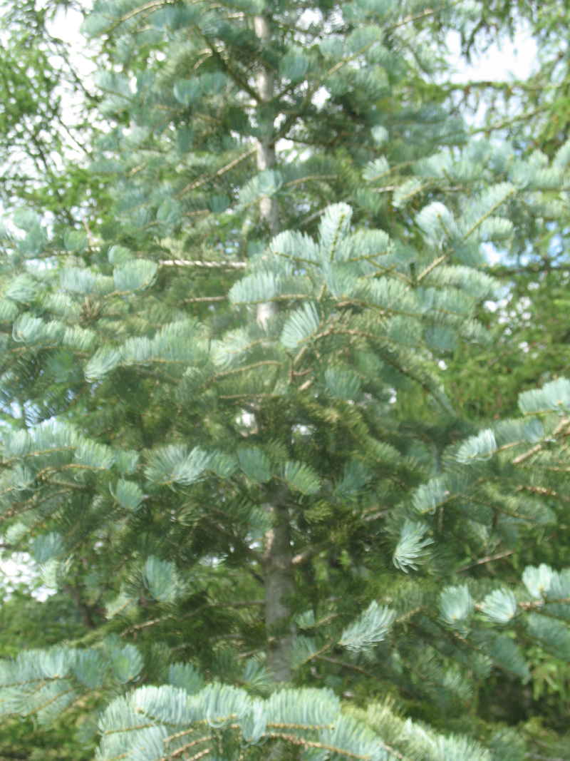 Abies concolor 'Select Blue'   / Abies concolor 'Select Blue'