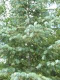 Select Blue White Fir / Abies concolor