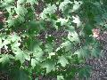 Fan-leaf Maple / Acer flabellatum
