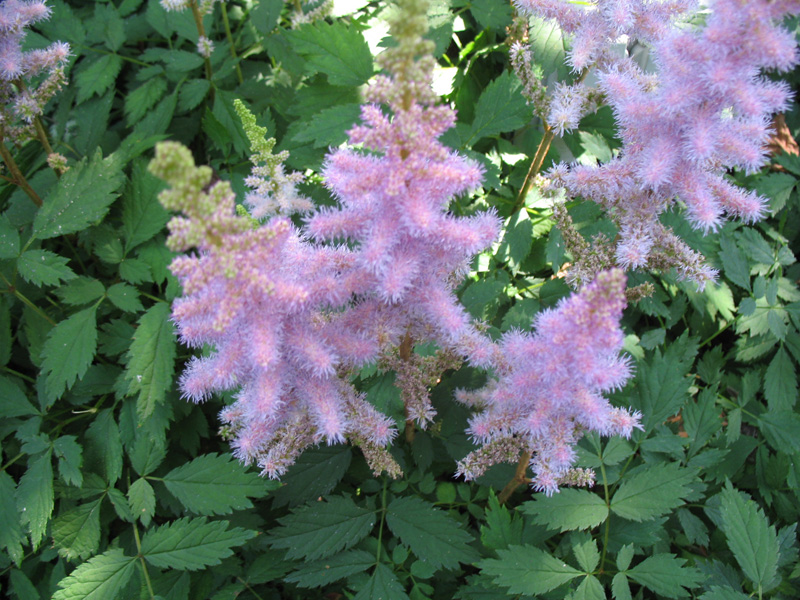 Astilbe chinensis 'Christian'    / Astilbe chinensis 'Christian'