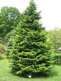 Grand Fir, Lowland Fir / Abies grandis