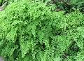 Trailing Maidenhair, Walking Fern, Walking Maidenhair Fern / Adiantum caudatum