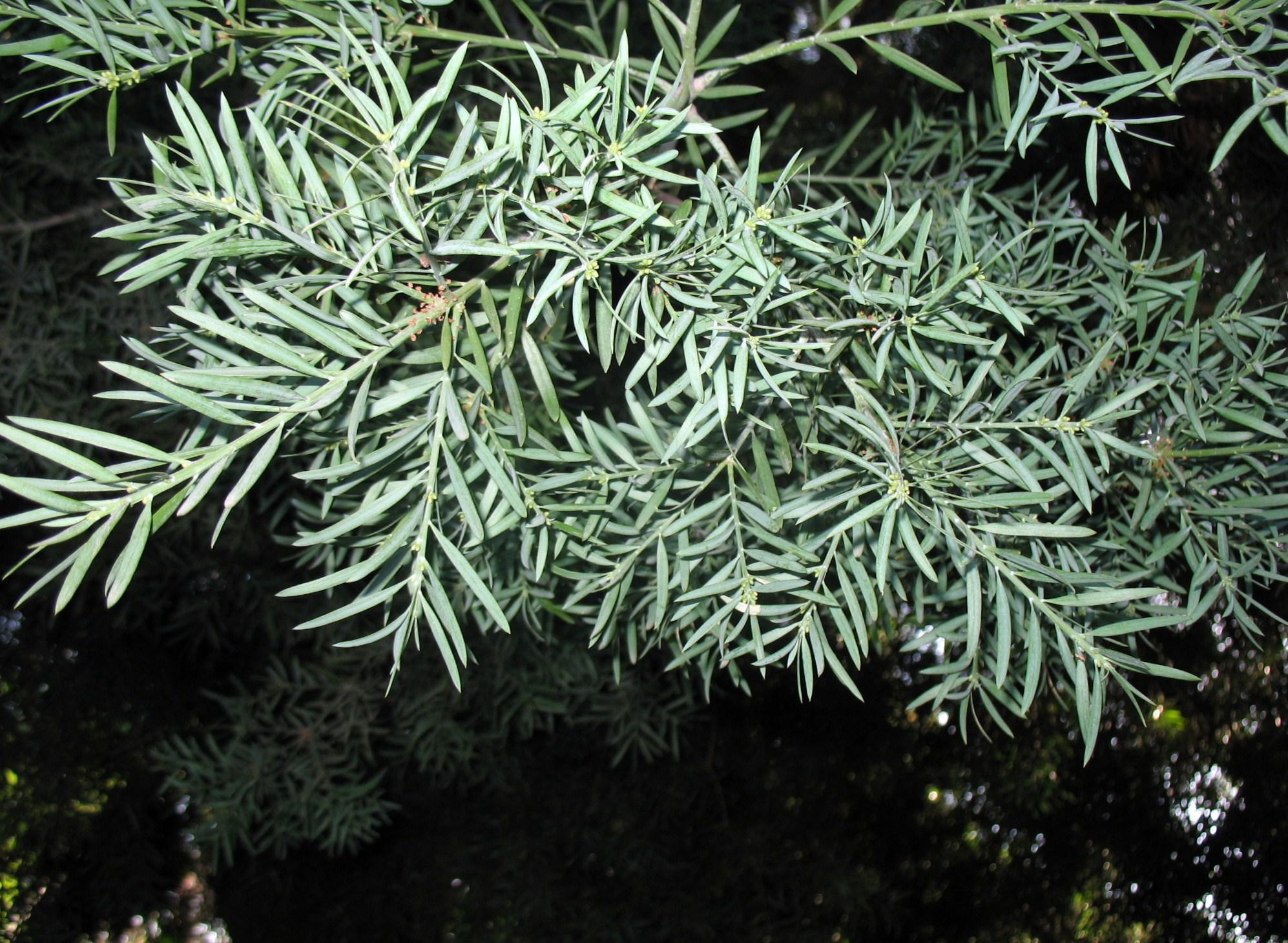 Afrocarpus falcata / Afrocarpus falcata