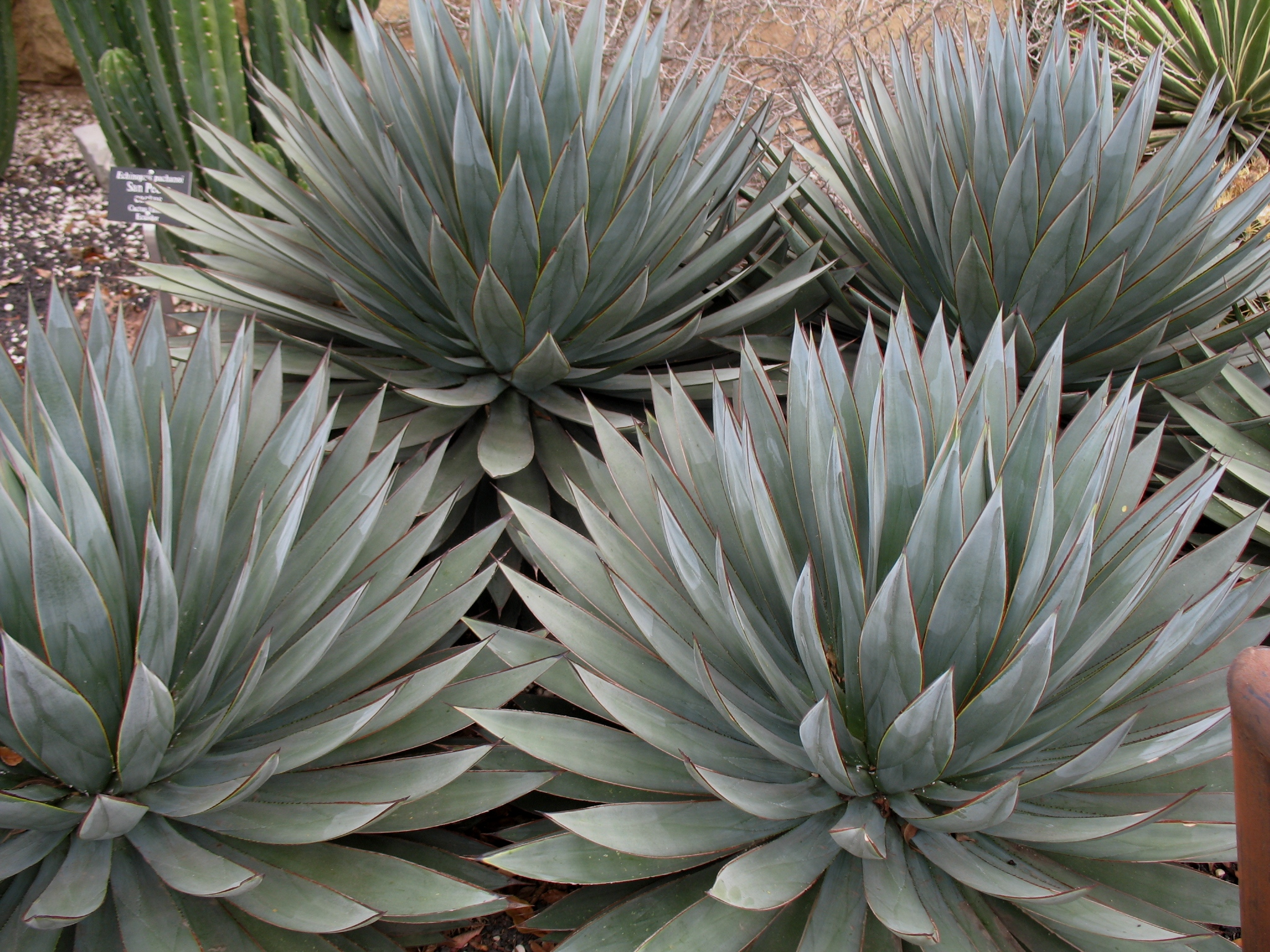 Agave 'Blue Glow' / Agave 'Blue Glow'