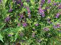 Summer Snapdragon / Angelonia