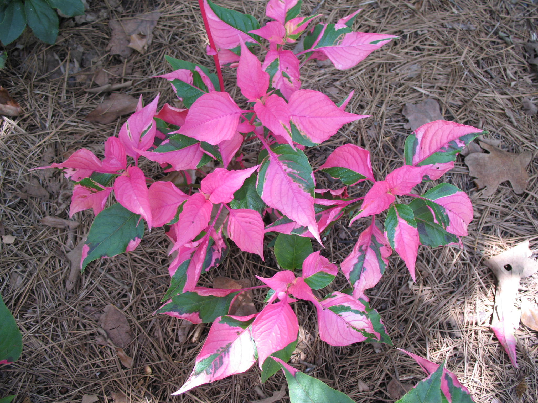 Alternanthera ficoidea 'Party Time'   / Alternanthera ficoidea 'Party Time'