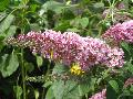 Pink Delight Butterfly Bush / Buddleia davidii