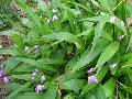 Chinese Ground Orchid / Bletilla striata