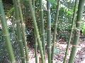 Giant Timber Bamboo / Bambusa oldhamii