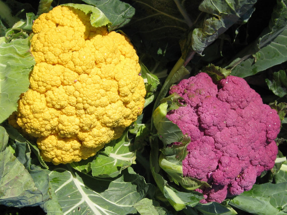 Brassica oleracea 'Cheddar' (left) and 'Graffiti' / Brassica oleracea 'Cheddar' (left) and 'Graffiti'