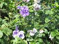 Yesterday Today and Tomorrow / Brunfelsia pauciflora