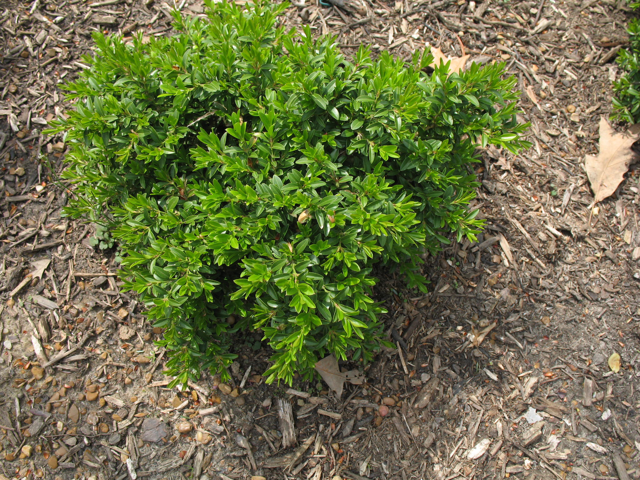 Buxus microphylla 'Grace Hendrick Phillips'  / Buxus microphylla 'Grace Hendrick Phillips'